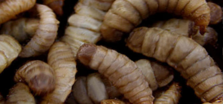 Useful maggots from the black soldier fly