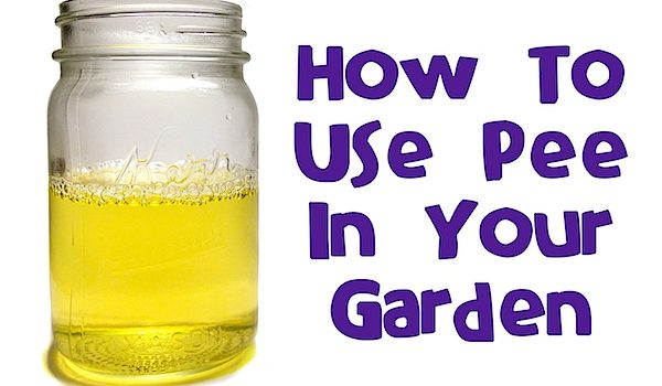 Pee-cycling: Using pee in your garden